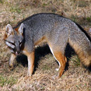 030310 Fox in Yard