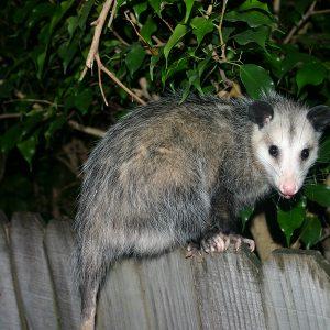 HAR_Opossum in Yard