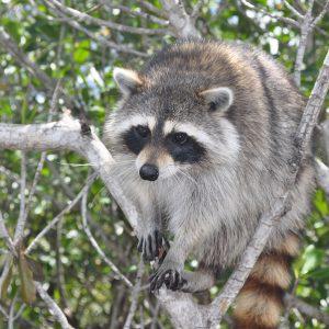 030310 Wild Raccoon