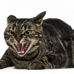 Mixed-breed cat hissing