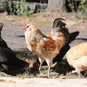 HAR_Chicken on street eating