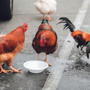 HAR_Chicken on street eating white bowl
