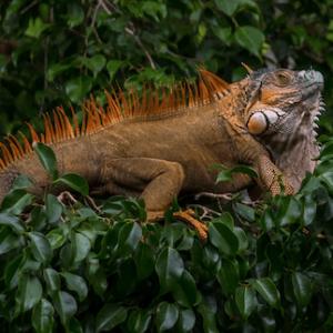 HAR_iguana-in-a-tree