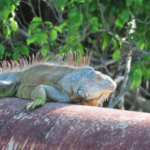 HAR_iguana-on-a-pipe
