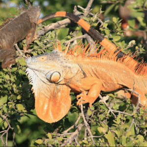 HAR_iguanas-in-tree