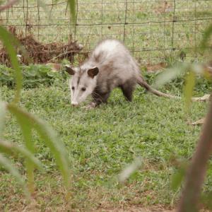 HAR_opossum-in-garden