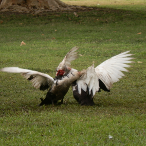 PNG Muscovy duck fight
