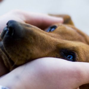 The duchshund puts the head in hands of the owner.