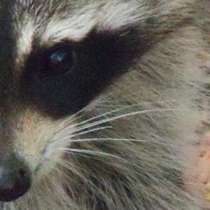 Raccoon face Humane Animal Removal
