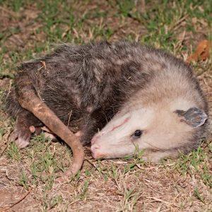 Possum playing dead at night